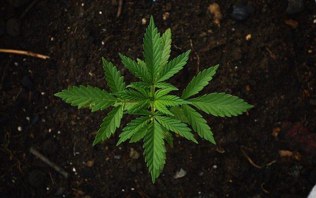Using Cannabis